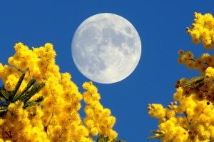 luna piena mimose2