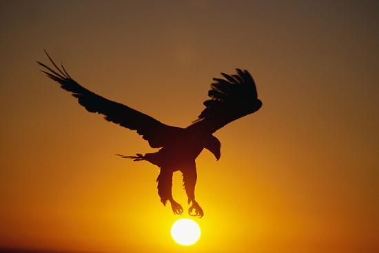 bald-eagle-flying-at-sunrise_u-l-pzqceo0